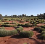 A beautiful spinifex garden – note the camel tracks in the foreground.